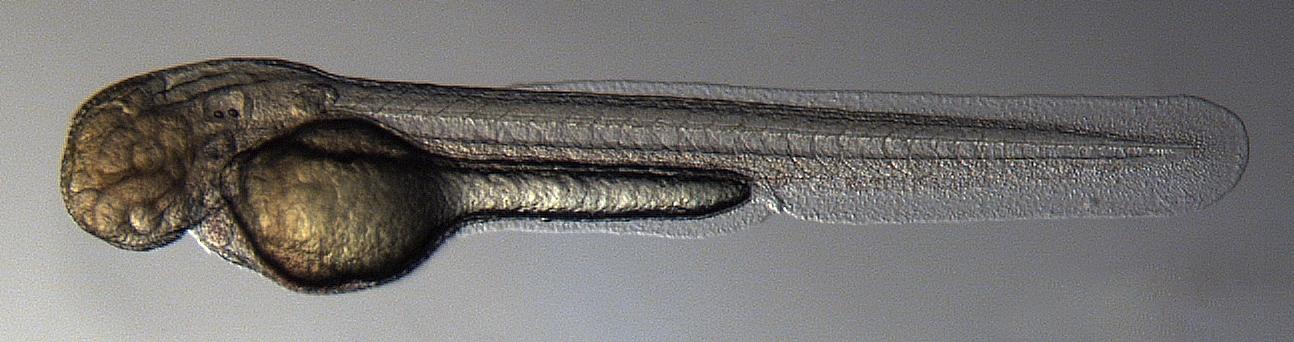 Kramer Scientific - Zebra Fish
