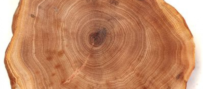 GIGAmacro gigapixel image of tree rings